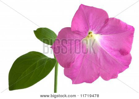 Pink Petunia Flower Isolated On White Background