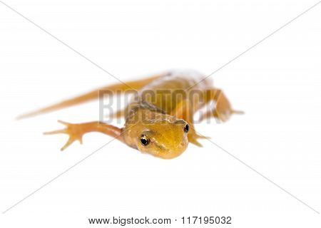 The smooth or common newt, Lissotriton vulgaris, on white