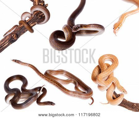 House Snakes set on white