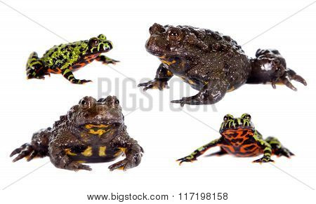 Oriental and Hubei Fire-bellied Toads on white