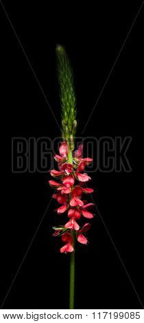 Close Up Of Red Flower Over Black Background