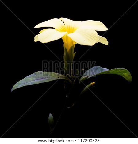 Water Droplets Adding Charm Golden Trumpet Flower On Black Background.