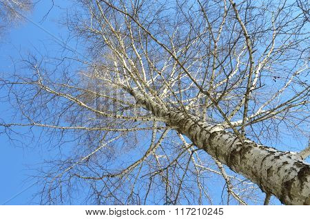 Birch Branches In Winter