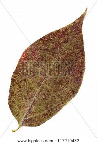 Pressed And Dried Vinous Leaf Pears Isolated.