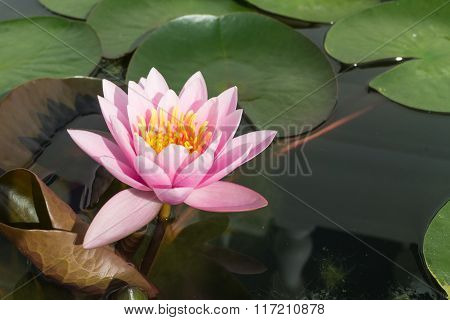 pink lotus with the leaf