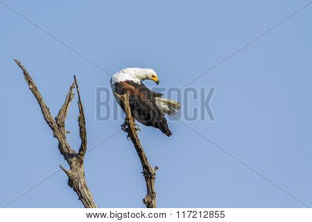 African Fish Eagle In Kruger National Park