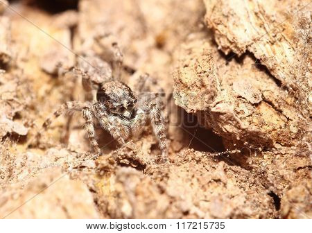 Jump Spider In Thailand Forest