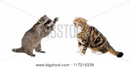 Meowing cat Scottish Fold and raccoon