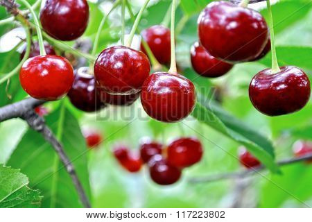 Close-up Of Ripe Sweet Cherries On A Tree