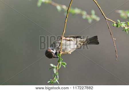 Tree Sparrow Hangs At Thin Tree Branch In Spring