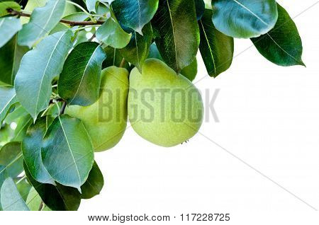 Ripe Pears On Tree Branch.