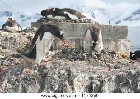 Gentoo Penguin, Greeting Its Mate