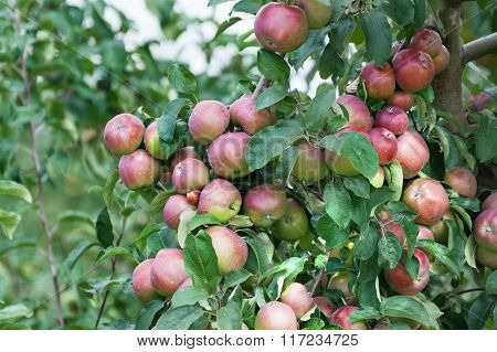 Branch With Red Apples