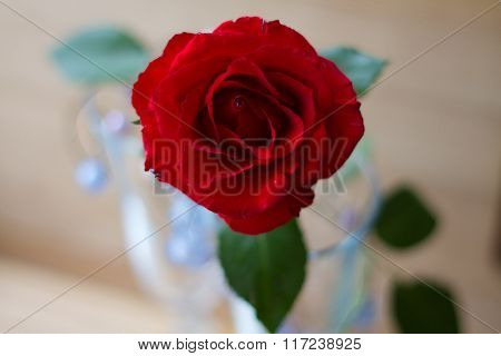 Beautiful flower-the rose.