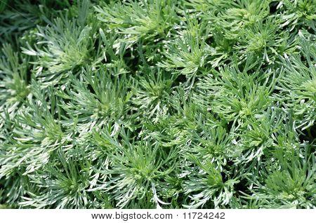 Silver Mound Artemisia