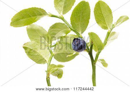 Ripe Blueberry on twig on white background