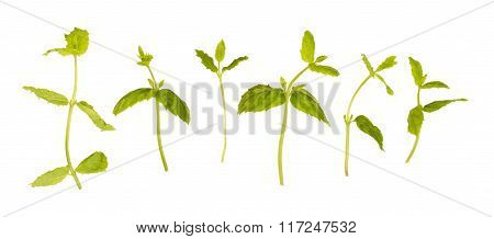 Set Mint Stalk, Isolated On White.