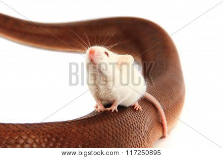 Rainbow Boa Snake And His Friend Mouse