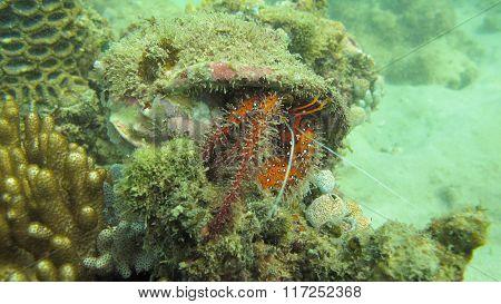Red helmet crab