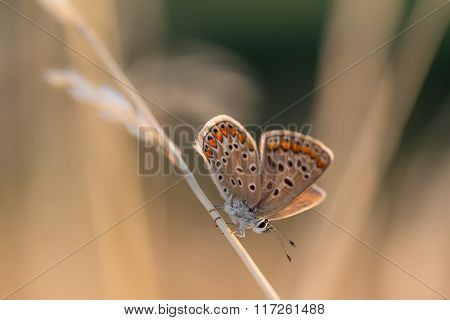 Orange & Blue Tiny Butterfly On A Blade Of Dry Grass In Morning