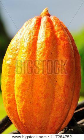 Yellow Ripe Cocoa Fruit