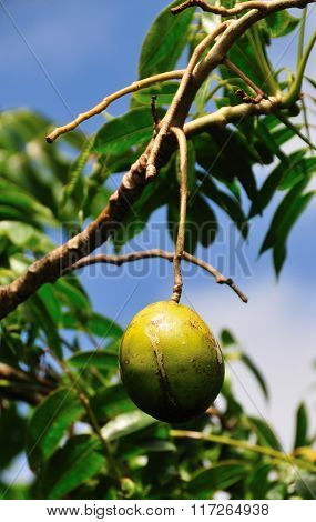 Calabash Fruit Hanging From Branch