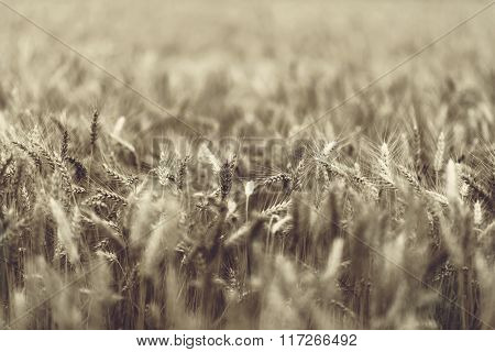 Wheat - Close Up Of A Wheat Field.