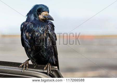 Friendly Black Crow