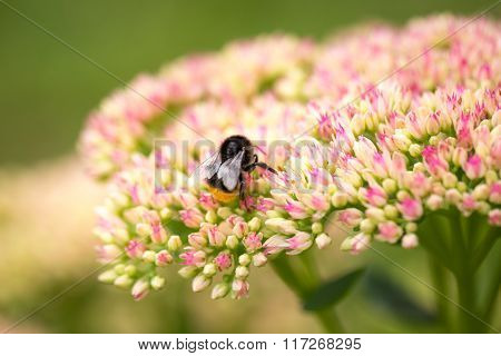 Bumblebee Collects Pollen From Flowers In The Garden