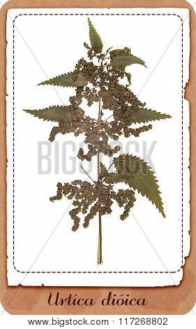Nettle Plant Isolated