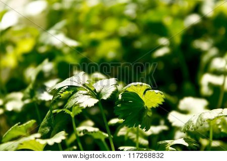 The parsley leaves shot close up