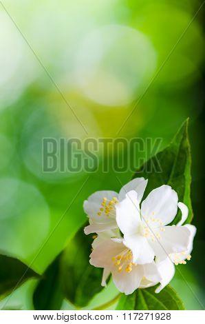 Beautiful flowers of a jasmin, close up.