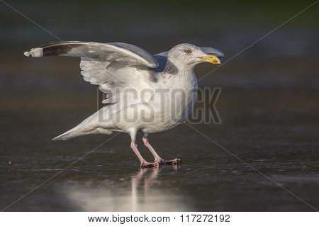 Herring Gull, Larus Argentatus, On A Frozen Pond
