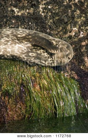 Harbor Seal Pct5594