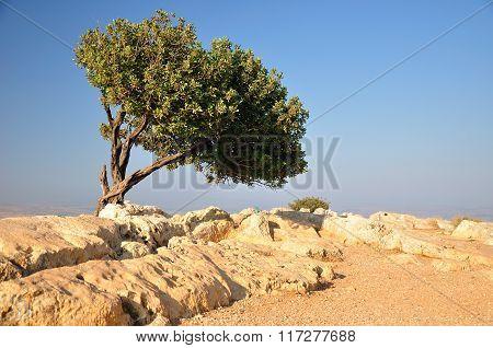 Carob tree.