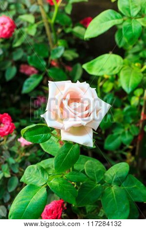 White rose of brightly colored flower drenched with water.