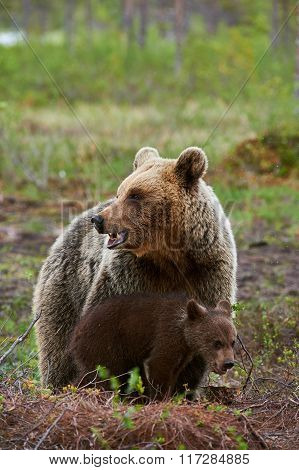 Mother Brown Bear And Cub