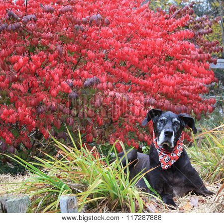 Great Dane and Burning Bush