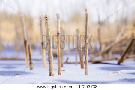 Reeds Ends  Frosted Into The Ice
