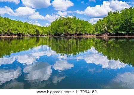 Mangrove forest reflected