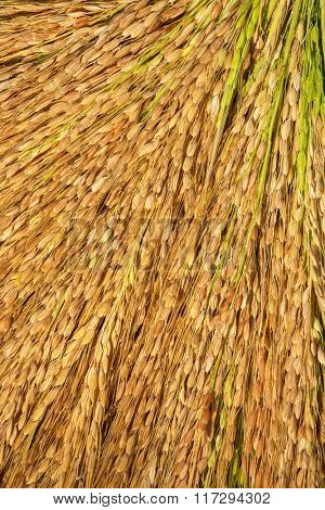Close up of rice sheaf after harvest on the field