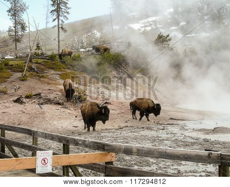 American Bison Herd In Yellowstone Park