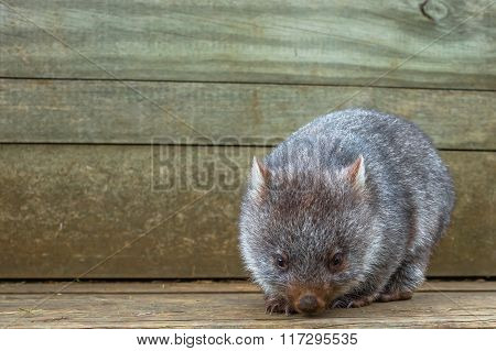Little Wombat Australia