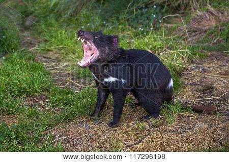 Tasmanian Devil angry