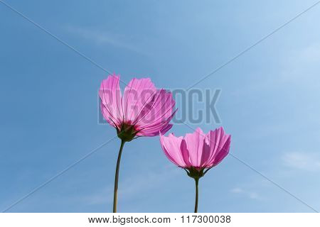 Couple Pink Cosmos Flowers (cosmos Bipinnatus) On Clear Blue Sky With Sun Backlit