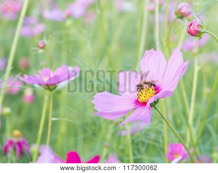 Cosmos flower and bee (Bright Soften Style)