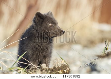 Portrait Commanders Blue Arctic Fox Looking In The Side Sunny Autumn