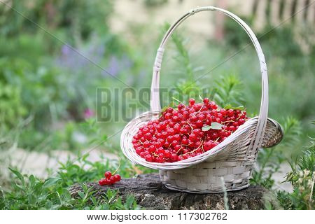 organic red currants in the basket