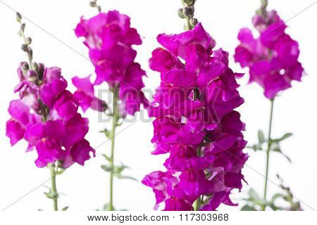 Pink snapdragon flowers