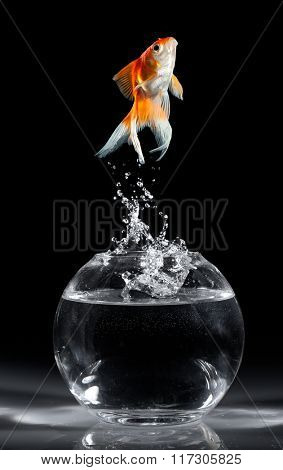 Goldfish jumps upwards from an aquarium on a dark background